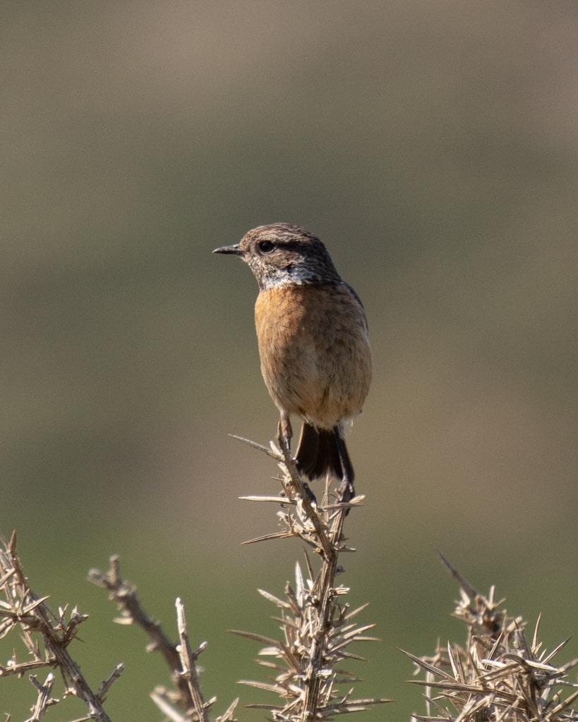 brown bird sitting on dried gorse